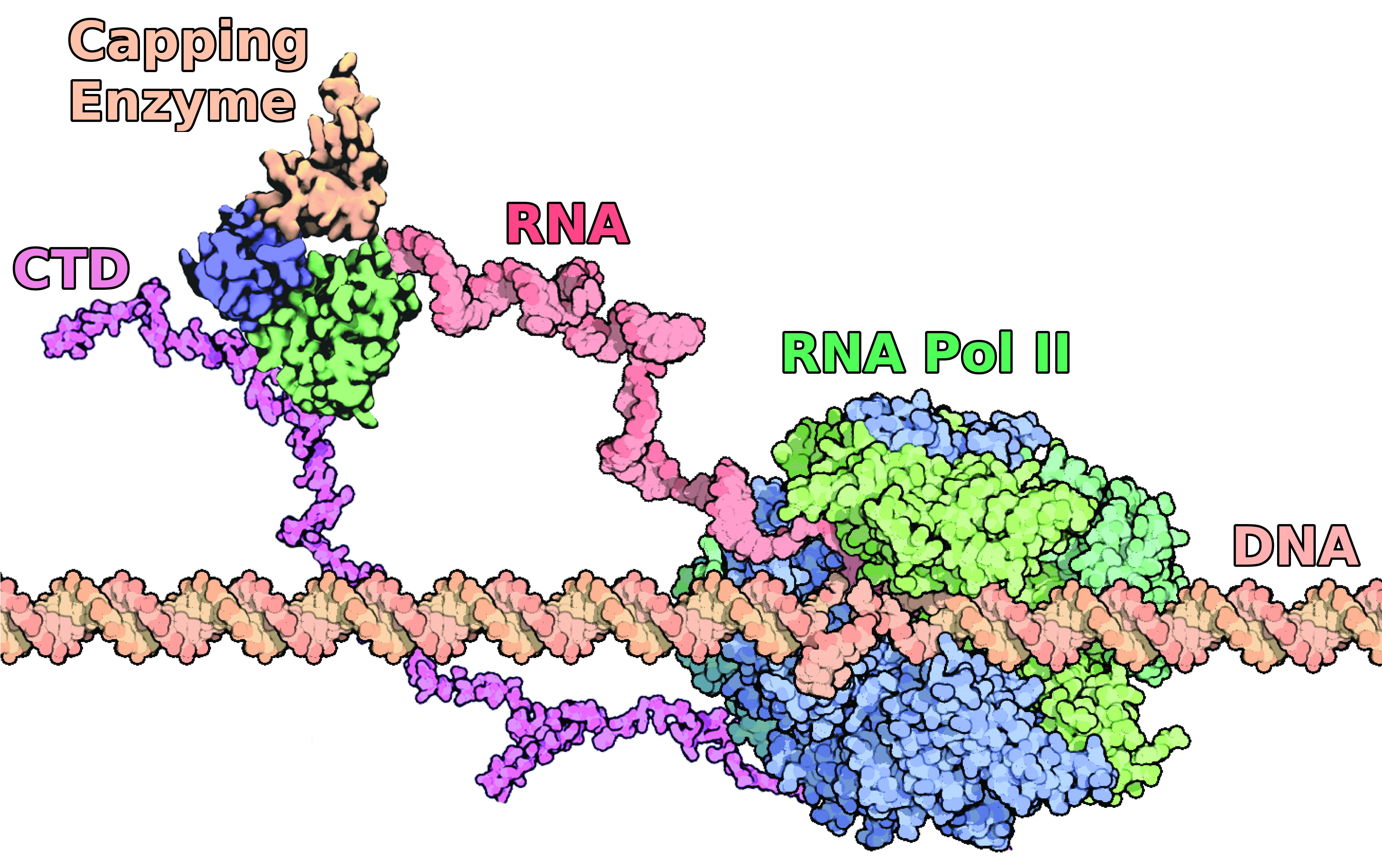 The extensive interaction between the mRNA Capping Enzyme and the CTD of RNA Pol-II. Research into this interaction shows that it is essential for the allosteric activation of the Capping Enzyme and provides further insights into the mechanisms of gene re
