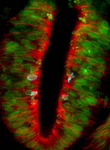Cell division in the neural tube