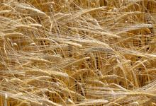 Barley. Copyright James Hutton Institute