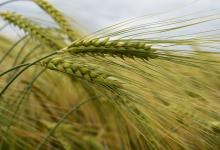 barley image © James Hutton Institute