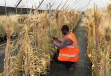 Girma Fana measuring barley crops in a poly tunnel