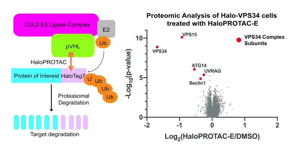 Overview of the HaloPROTAC method to induce post–translational knockdown or endogenous proteins