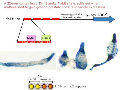 Image 2. Gene expression directed by a multimerised, minimal promoter fragment